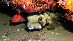 Shortspine porcupinefish Royaltyfri Fotografi