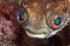 Shortspine porcupinefish. (Cyclichthys orbicularis) with beautiful eyes Royalty Free Stock Images