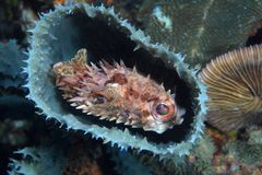 Shortspine porcupinefish Royalty Free Stock Photo