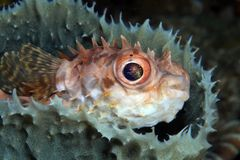 Shortspine porcupinefish Royalty Free Stock Photos