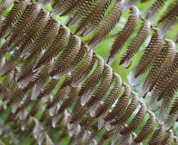 SYMMETRICAL ROWS OF DRIED NEW ZEALAND FERNS UNDER THE GROWTH OF A FRESH GREEN CANOPY, CLOSEUP royalty free stock image