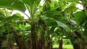 A shot of banana trees. A medium shot of banana tree that pans to the left stock footage