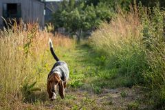 Dog Walks royalty free stock image