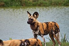 African Wild Dog hunting stock images