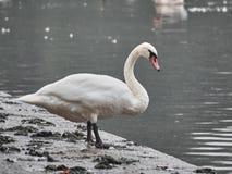 Shot of a beautiful swan royalty free stock photo