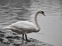 Shot of a beautiful swan royalty free stock photos