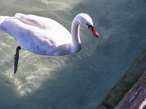 Shot of a swan in the lake of Annecy stock photo