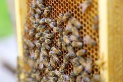 Beehive interior - honey bees working on a honeycomb Royalty Free Stock Photo