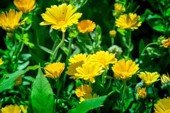 Shot of blooming marigolds. On a sunny summer day Royalty Free Stock Photos