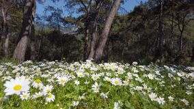 Enchanting Spring - Daisies in the Forest 05. A shot of blooming white daisies in the enchanting spring season. Bees can be seen gathering pollen from the stock footage