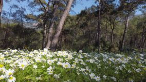 Enchanting Spring - Daisies in the Forest 06. A shot of blooming white daisies in the enchanting spring season. The videos were taken at various Mediterranean stock video