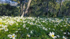 Enchanting Spring - Daisies in the Forest 07. A shot of blooming white daisies in the enchanting spring season. The videos were taken at various Mediterranean stock video