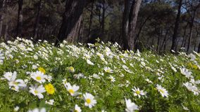 Enchanting Spring - Daisies and Dandelion in the Forest 04. A shot of blooming white daisies and yellow dandelion flowers in the enchanting spring season. Bees stock footage