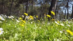 Enchanting Spring - Daisies and Dandelion in the Forest 03. A shot of blooming white daisies and yellow dandelion flowers in the enchanting spring season. Bees stock footage