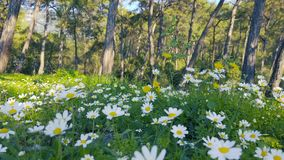 Enchanting Spring - Daisies and Dandelion in the Forest 12. A shot of blooming white daisies and yellow dandelion flowers in the enchanting spring season. The stock video footage