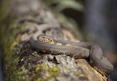 Broad-banded Water Snake. A shot of a Broad-banded Water Snake, showing the detail in its keeled scales. Baton Rouge, Louisiana Royalty Free Stock Image