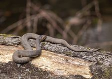 Broad-banded Water Snake Royalty Free Stock Photo