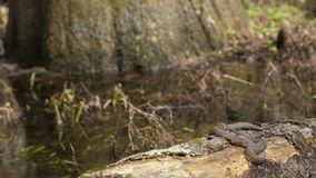 Broad-banded Water Snake Royalty Free Stock Images