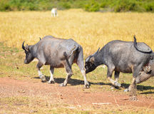 A shot of buffalos Stock Photo