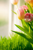 Shot of bunch of tulips standing on windowsill Stock Photos
