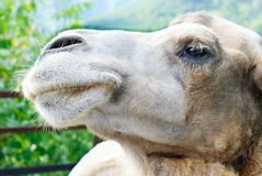 Shot of the camel's head. Close up Royalty Free Stock Image