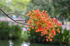 Orange flower. This shot captured from King Rama 9th Park in Bangkok Thailand Stock Photos