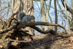 Squirrel on some dead branches royalty free stock images
