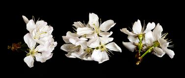 White cherry blossoms on black background. The shot of cherry blossoms on a black background Stock Photography