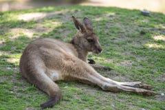Kangaroo. Shot in Copenhagen zoo stock photo