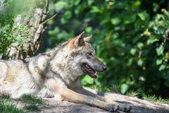 Wolf. Shot in Copenhagen zoo royalty free stock photo