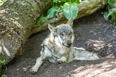 Wolf. Shot in Copenhagen zoo royalty free stock image