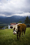 Shot of cow on natural meadow Royalty Free Stock Image