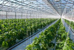 Cucumber plants. A shot of cucumber plants growing inside a greenhouse Royalty Free Stock Images