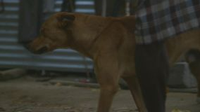 Shot of dogs in village. A closeup shot of dogs playing in village in Papua New Guinea stock footage