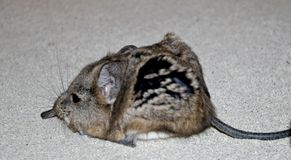 Shot eared elephant shrew. Whole shot of a Shot eared elephant shrew Royalty Free Stock Photography