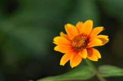 Shot of the Flower Royalty Free Stock Photography