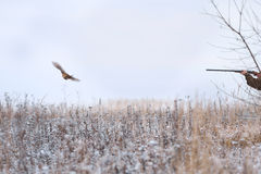Shot on flying pheasant Stock Images