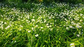 Enchanting Spring - Fresh Grass And Daisies 05. A shot of fresh wild grass and blooming white daisies in the enchanting spring season. Bees can be seen gathering stock footage