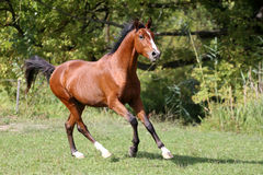 Shot of a galloping young arabian  stallion on pasture. Arabian breed horse galloping on pasture against green natural background Royalty Free Stock Images