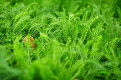 Fern. Shot of green fern leaves Royalty Free Stock Photos