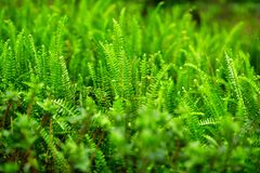Fern. Shot of green fern leaves Stock Image