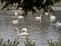 Shot of a group of swans royalty free stock image
