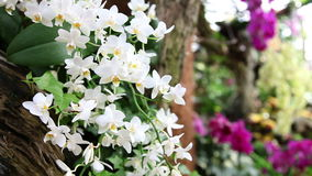 Shot of a group of white and violet orchids stock video footage