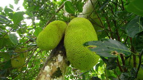A shot of 2 jack fruits on tree. A two shot of jackfruit stock video footage