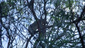 A koala climbing a tree branch. A shot of a koala that is climbing up a tree branch during late afternoon stock footage