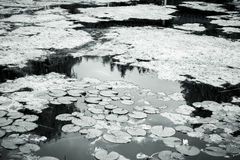 Shot of a lake with water lilies Stock Photos