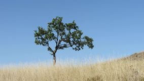 Shot of lonely tree on a meadow against the blue sky. A yellow meadow stock video