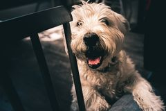 A smiling happy old Westie stands on it`s back legs with it`s paw on it`s owners leg stock image