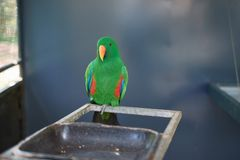 A male Eclectus roratus parrot at a zoo in Australia. Stock Images