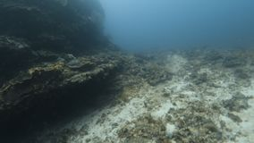 A diver exploring the coral reefs. A shot of a man swimming by the coral reefs. The shot also took a moving shot to show the sea plants stock footage